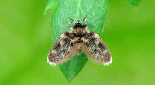 Psychodidae_mosca_planta